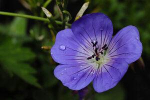 Geranium 'Rozanne' (Ooievaarsbek)