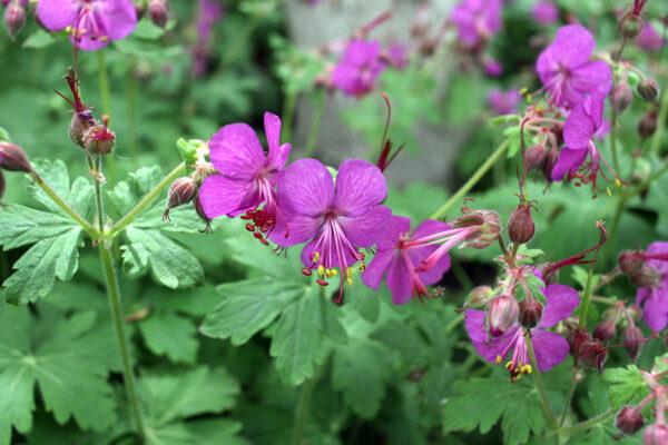 Geranium macrorrhizum roze (Ooievaarsbek)