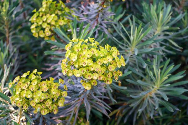 Euphorbia amygdaloides Purpurea (Wolfsmelk)