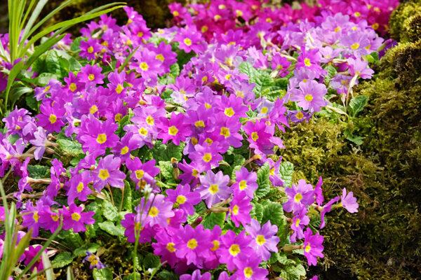 Primula juliae (Sleutelbloem)