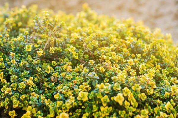 Thymus citriodorus Aureus (Geelbladige citroentijm)